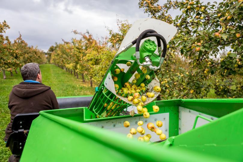 ramassage pommes