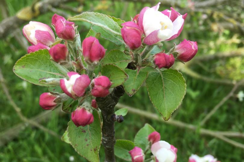 fleurs pommiers