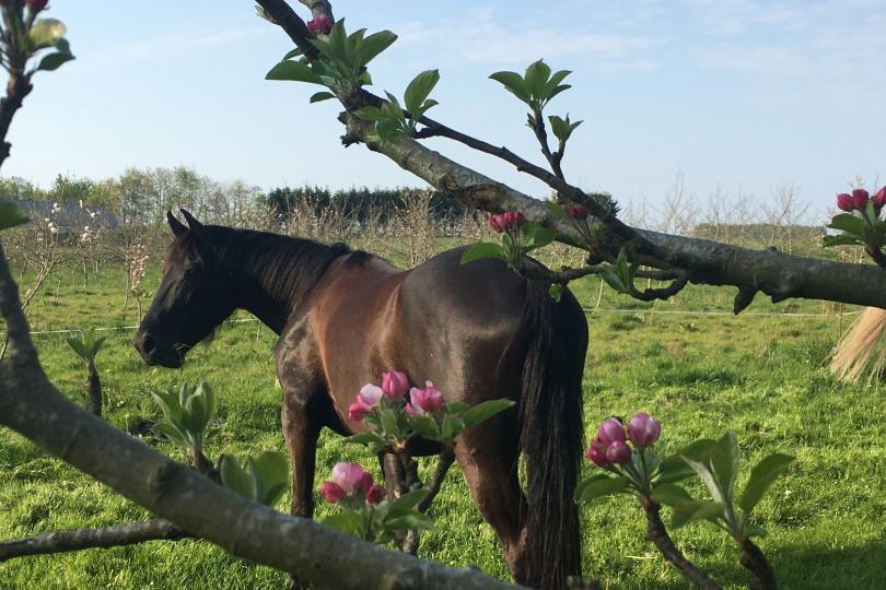 cheval dans verger