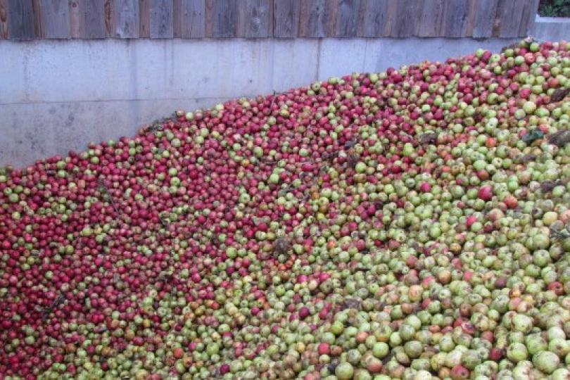 récolte pommes